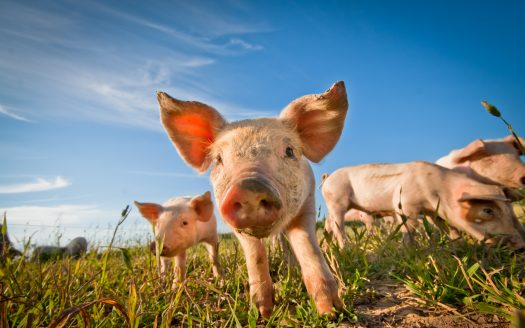 Adding Pigs to Your Farm