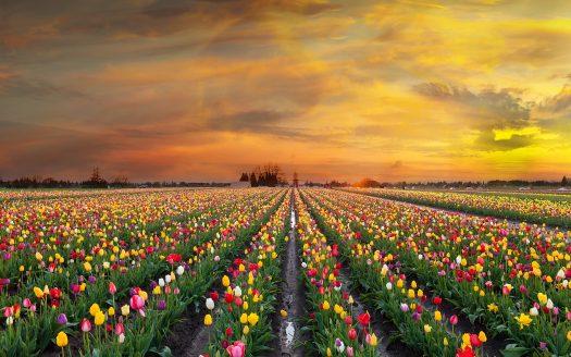 Adding Tulips to Your Farm