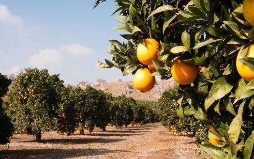 Citrus Tree Farming for Beginners
