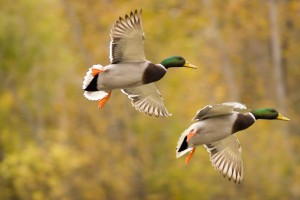 United Country is Official Auction Company for Ducks Unlimited Convention