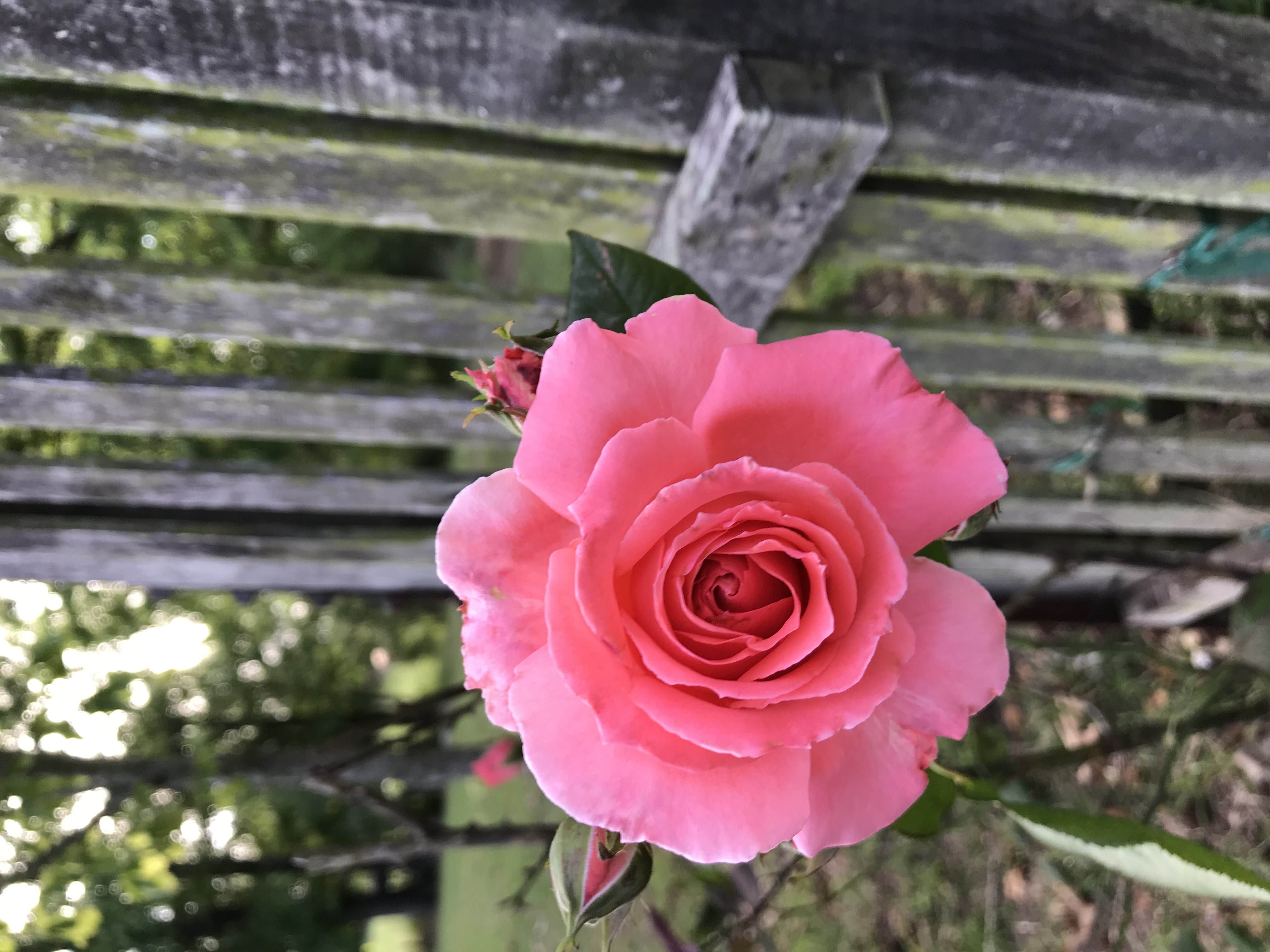 PRUNE YOUR ROSES TO BOOST YOUR HOMES CURB APPEAL