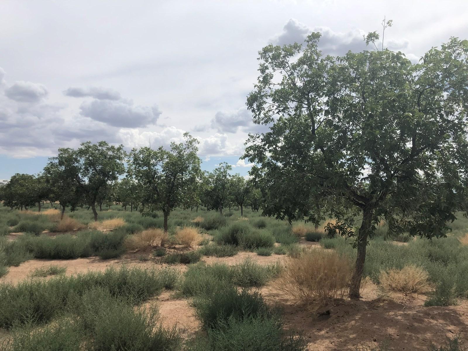 NM Pecan Farm
