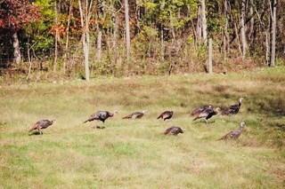 Turkey in Lynnville Tennessee