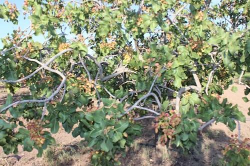 New Mexico Pistachio Orchard