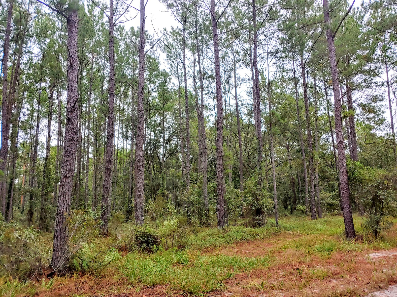 Bronson Florida  Planted Pines 1 plus acres