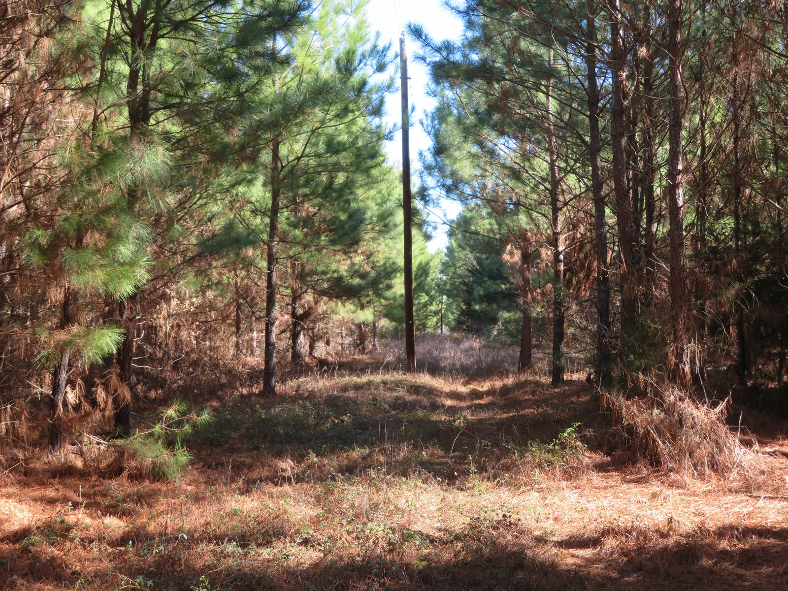 East Texas Timberland Tract for Sale, Cass County