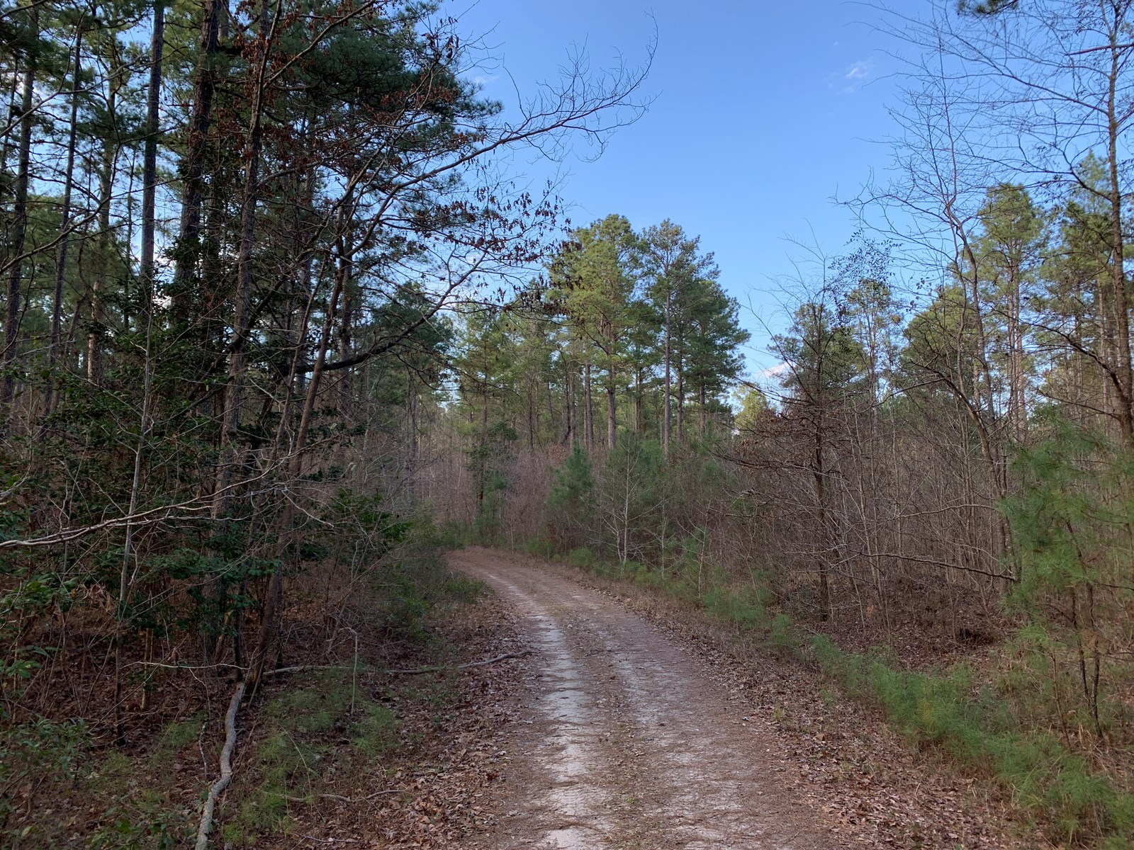 Natural Pine Hunting Timberland for Sale in Columbia Co., AR