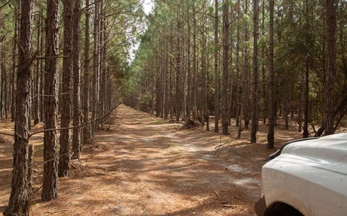 150 Acres in Slash pines, planted approximately 10 years ago