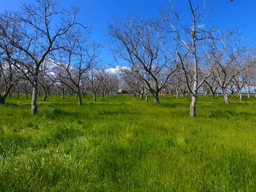 Certified Organic Chandler Walnut Orchard For Sale
