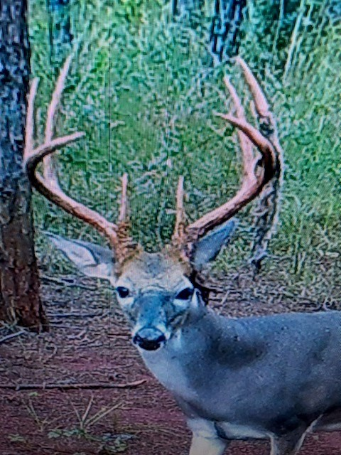 White tail deer caught on property trail camera