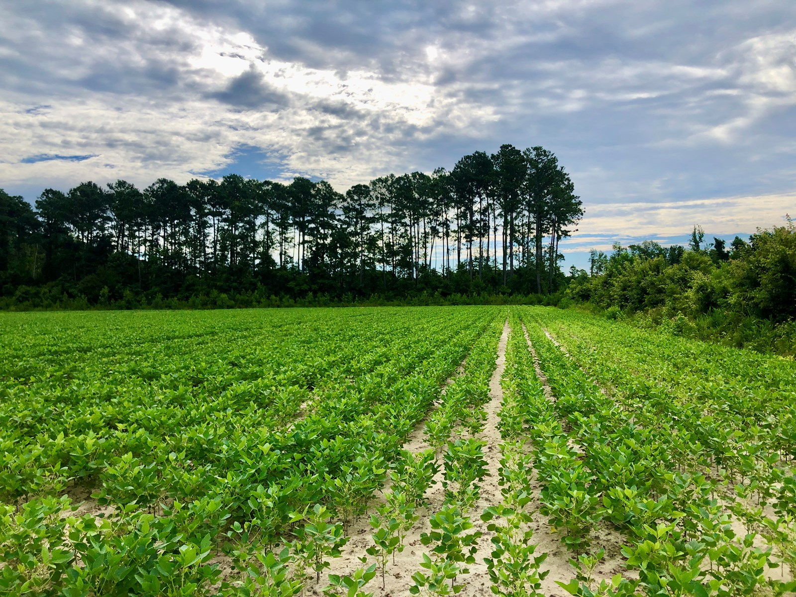 Hunting/Timber Tract for Sale Beaufort Co., Bath NC