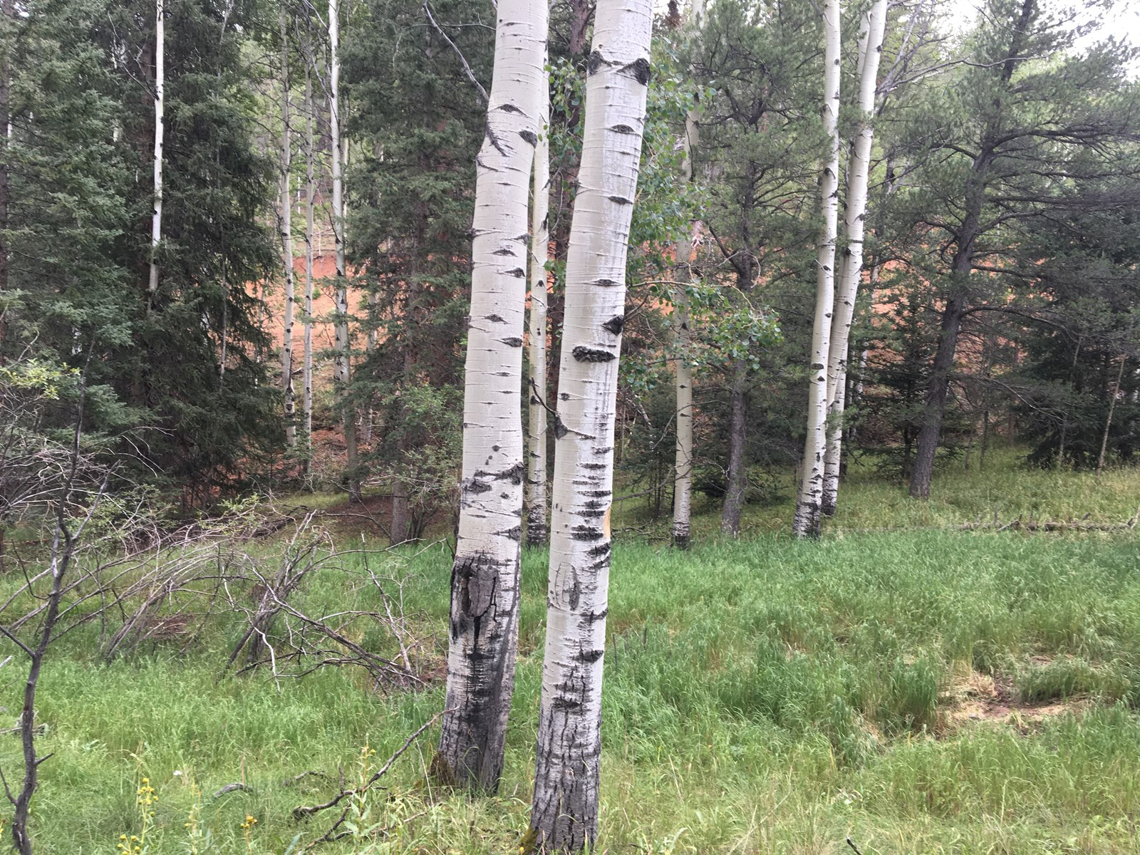 Colorado mountain land for sale, aspen and pine trees