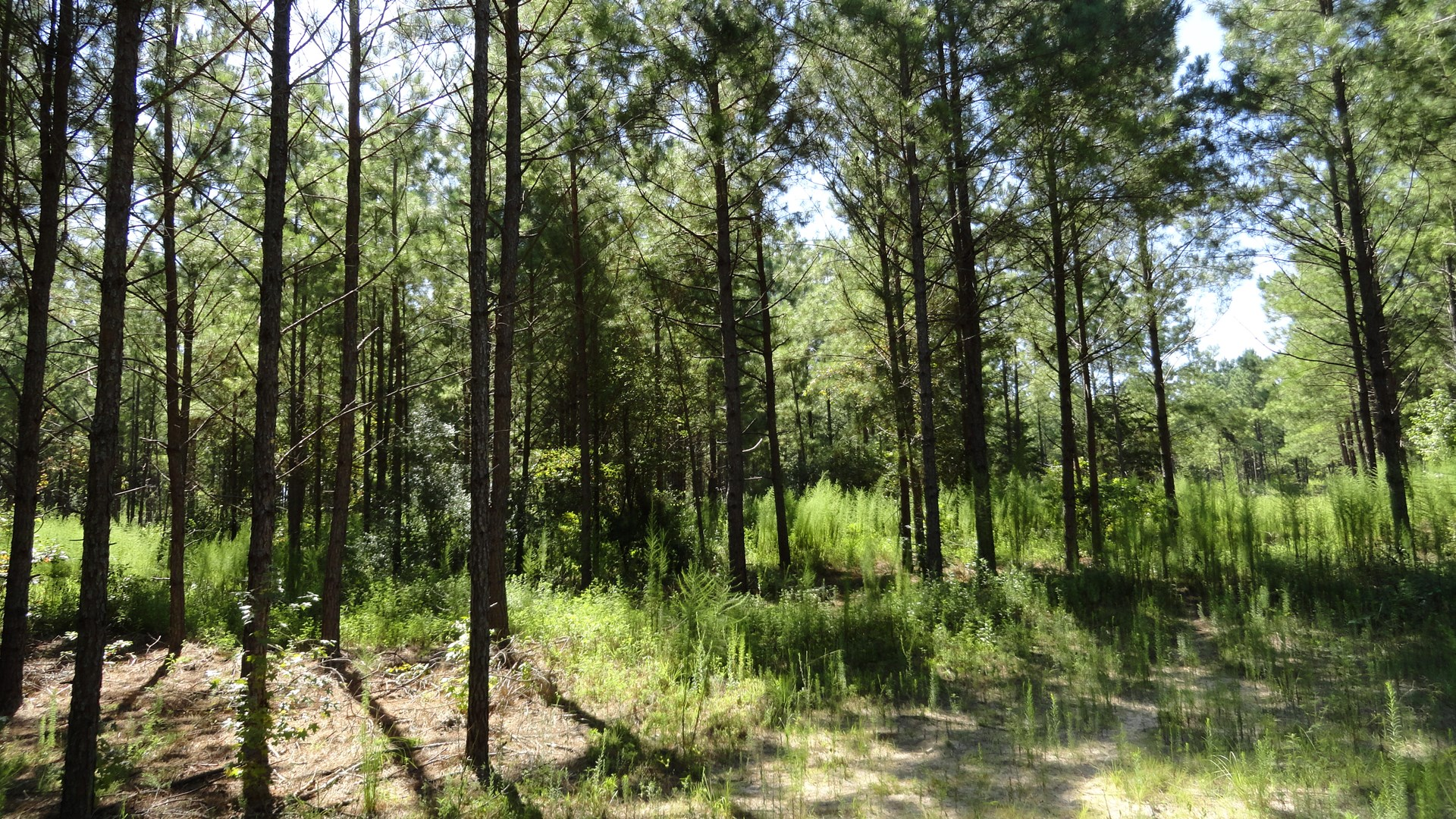 East Texas Land For Sale, Timber, Hunting, Recreational