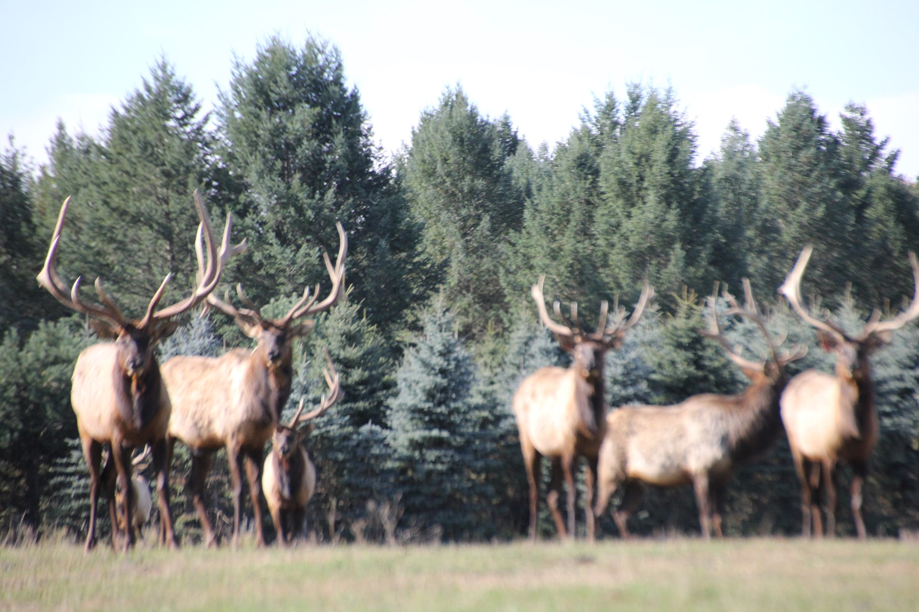 High Fence Hunting Ranch for Sale Trophy Elk Deer Ranch MI