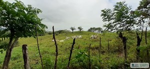 77 HECTARES FARM FOR SALE IN CHEPO PANAMA