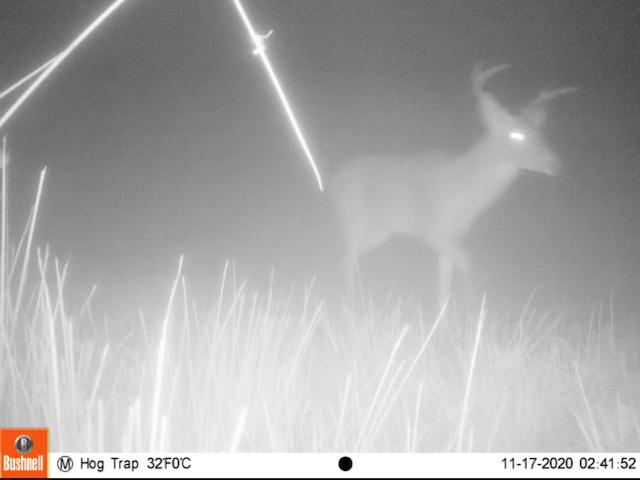 deer, game camera