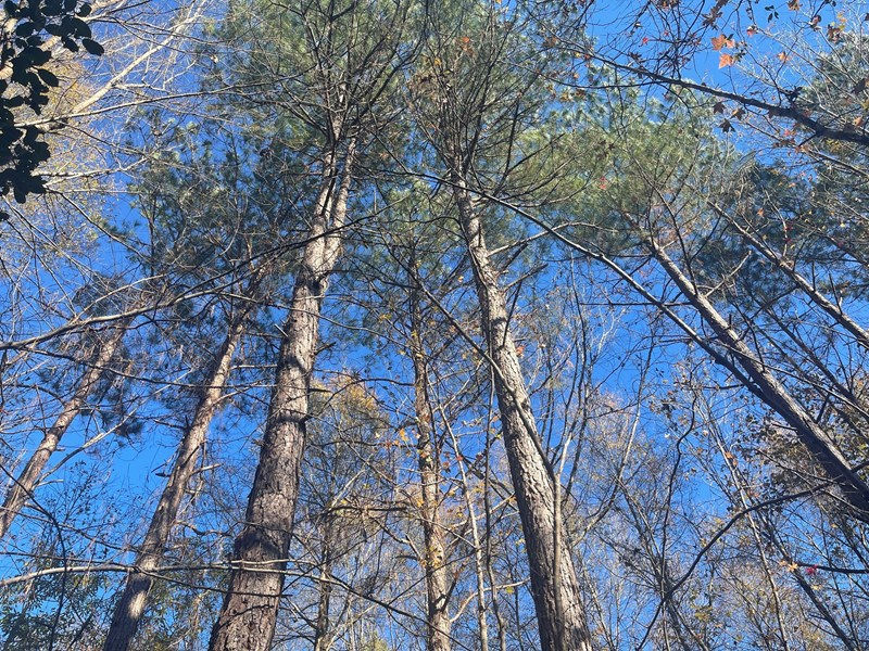 timber in arkansas
