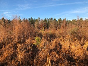 YOUNG PLANTED PINE /HDWD CREEK LAND FOR SALE IN ASHLEY CO.