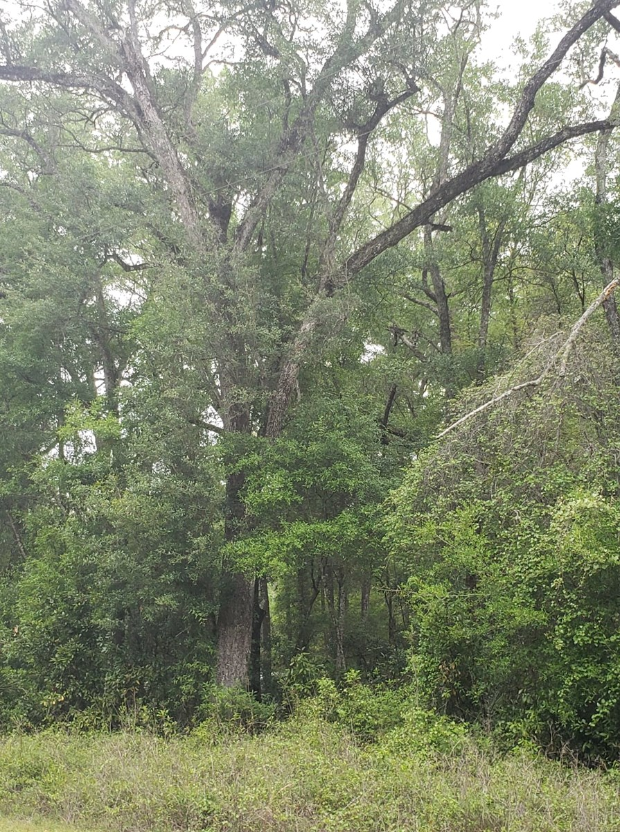 Beautiful wooded 2.83 acres in Old Town, FL.
