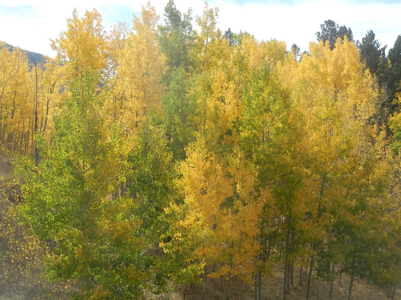 Fall Aspens on Property