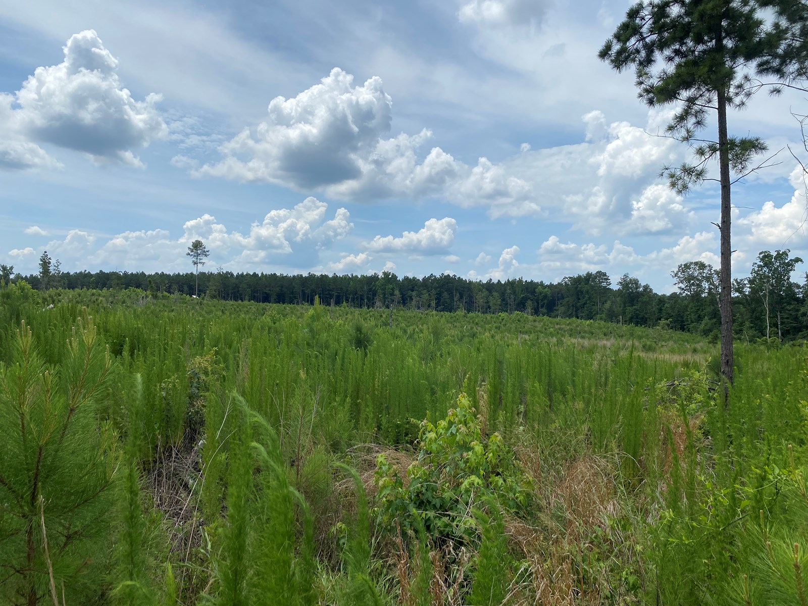 Young Planted Pine on State Highway in Rosston, AR for Sale