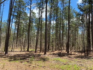 NATURAL PINE HUNTING LAND FOR SALE IN NEVADA COUNTY, ARK.