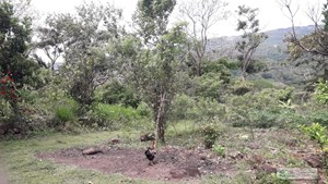 14 HECTARES FARM FOR SALE IN LOS CAJONES CHAME PANAMA