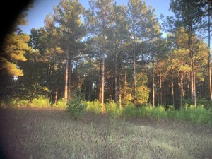 RURAL PINE TIMBER LAND FOR SALE IN UNION COUNTY, ARKANSAS