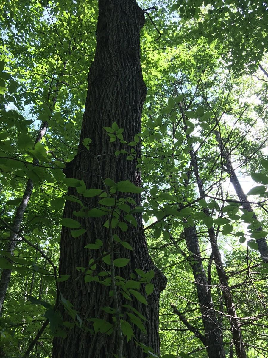 Mature Hardwoods