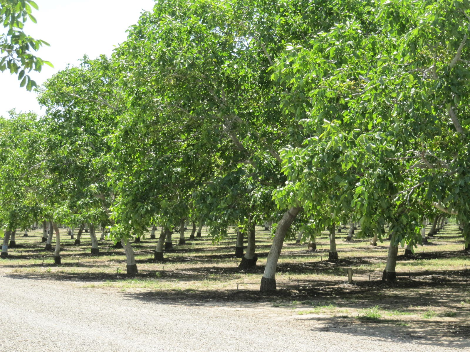 Income Producing Orchard and Open Farm Land in Yolo County