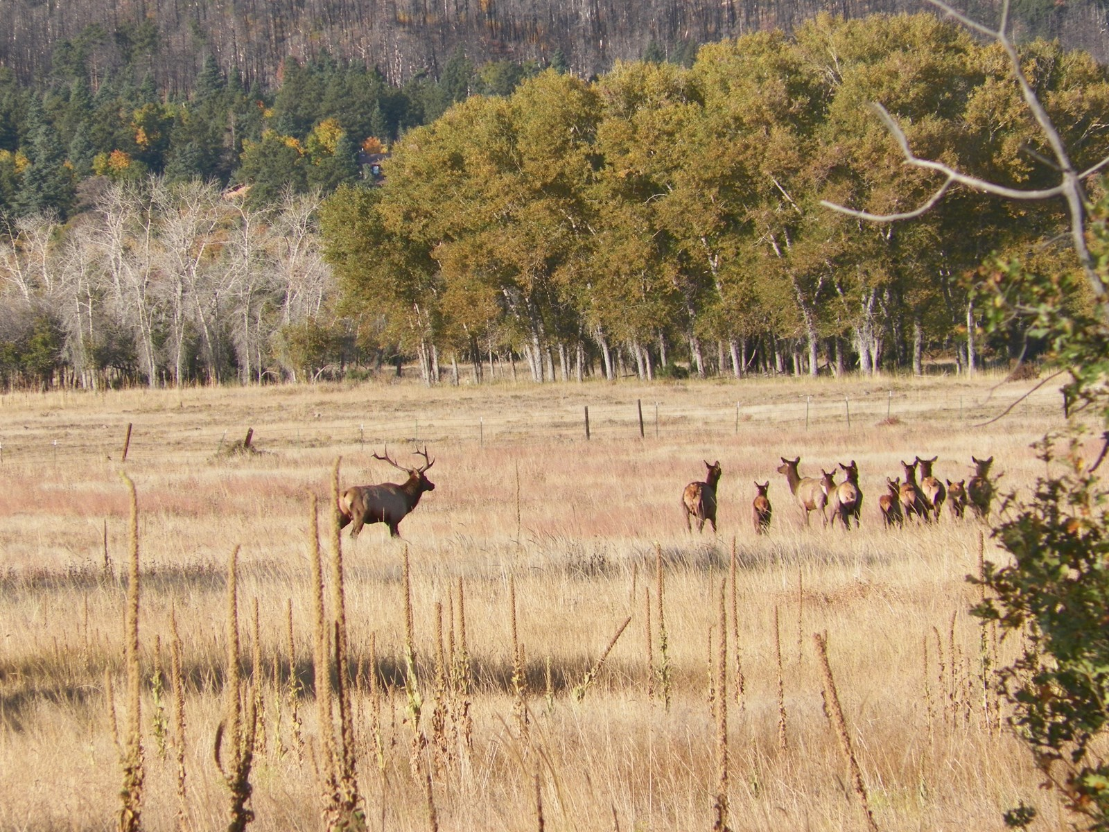 Herd of Elk at Maytag Ranch