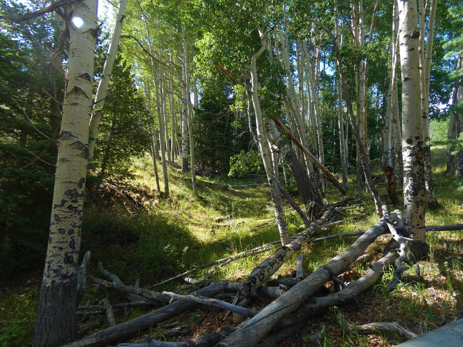 Aspens for Your Home