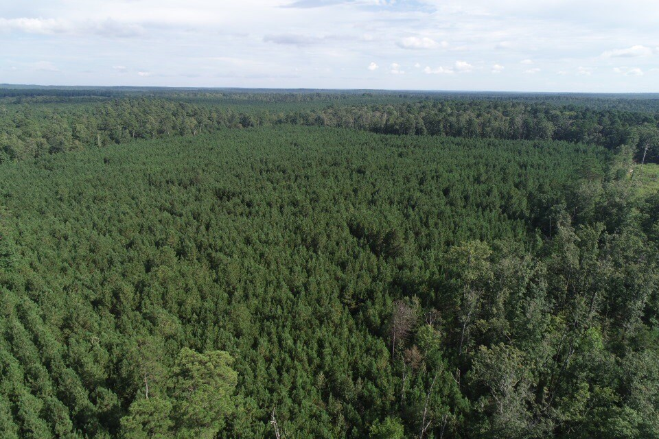 Investment Young Pine Timberland for Sale in Dallas County