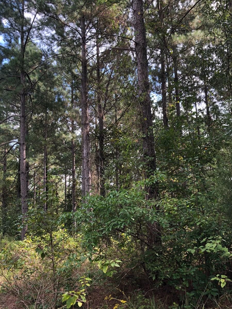 Pine Timberland w/ Creek Drain for Sale near Camden, AR