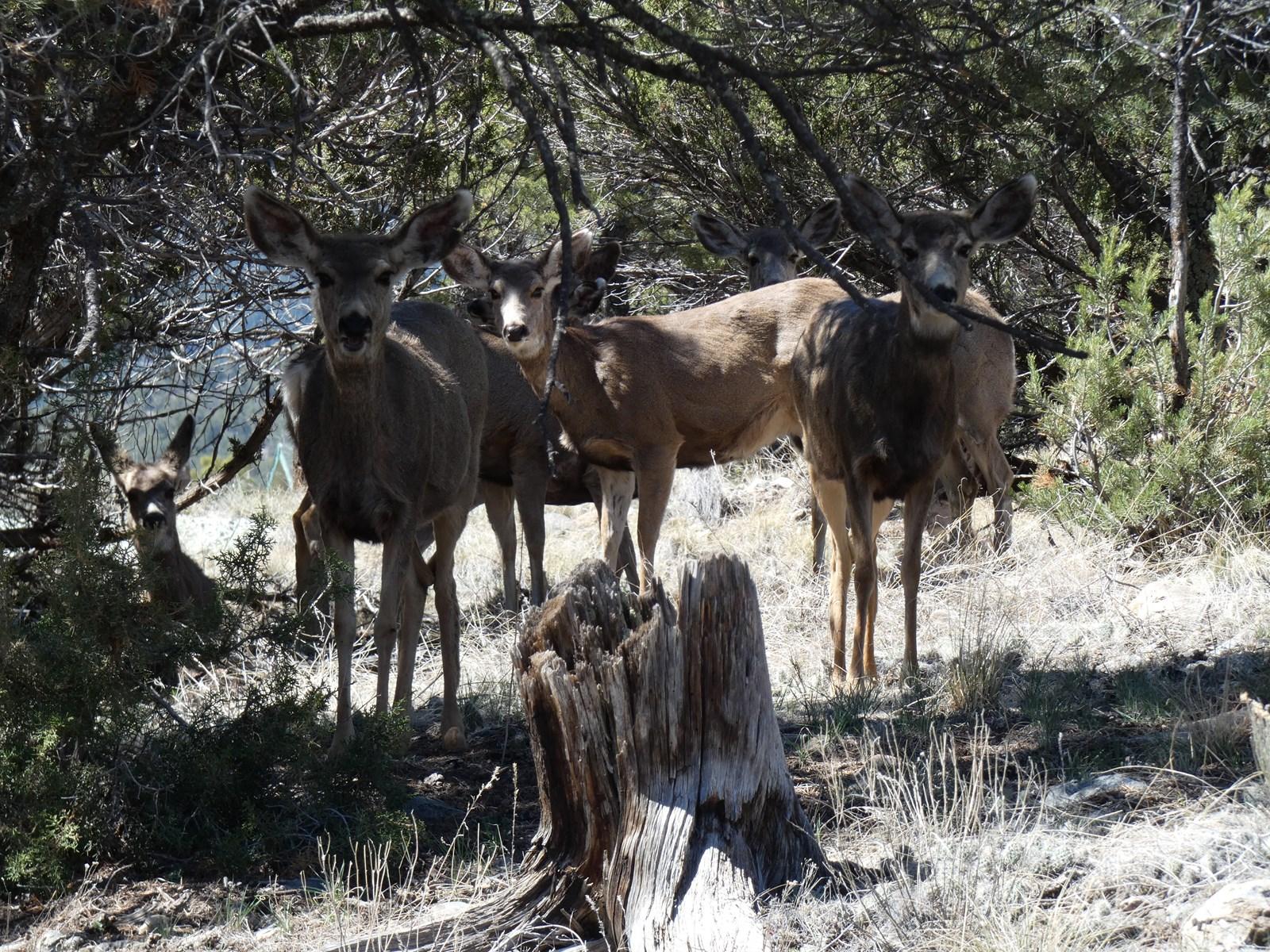 Visiting Mule Deer