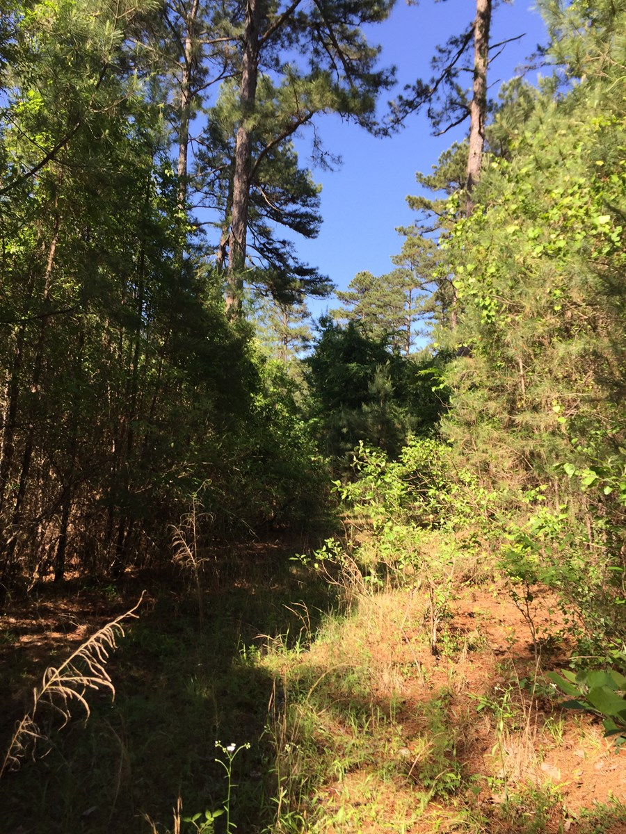 Mature Pine Timber Land for Sale near Arkansas State Park