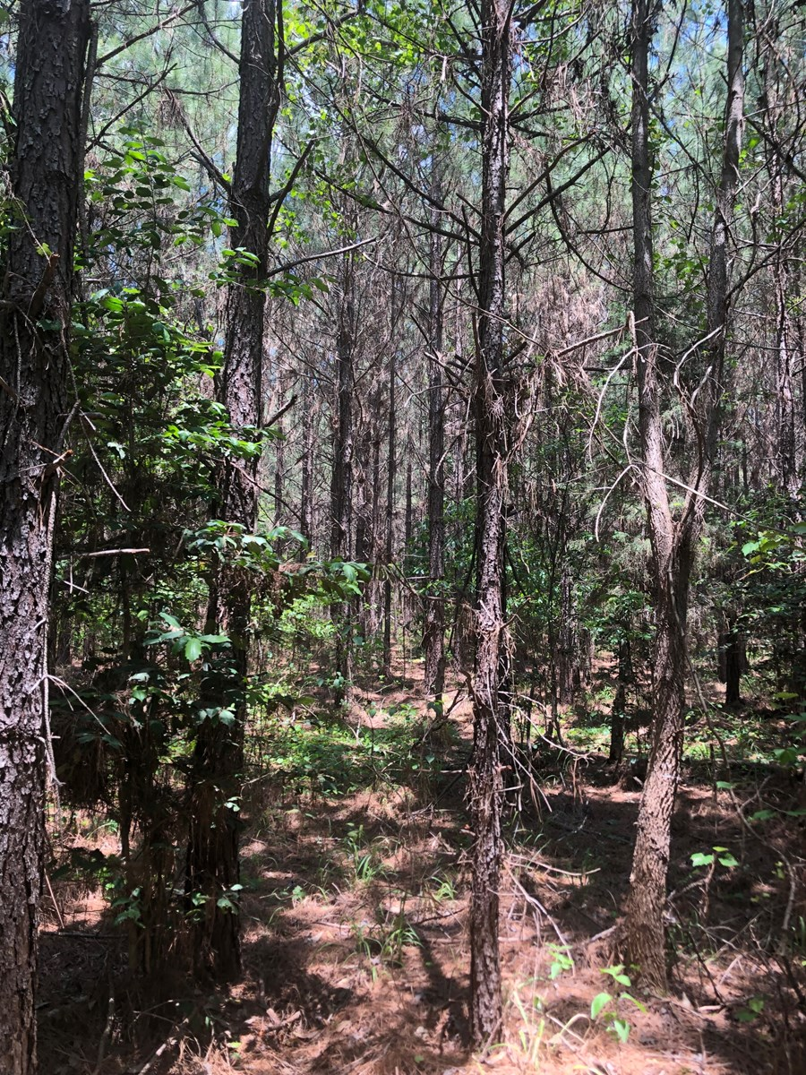 Planted Pine W/ Creek Land for Sale near Rosston, Arkansas