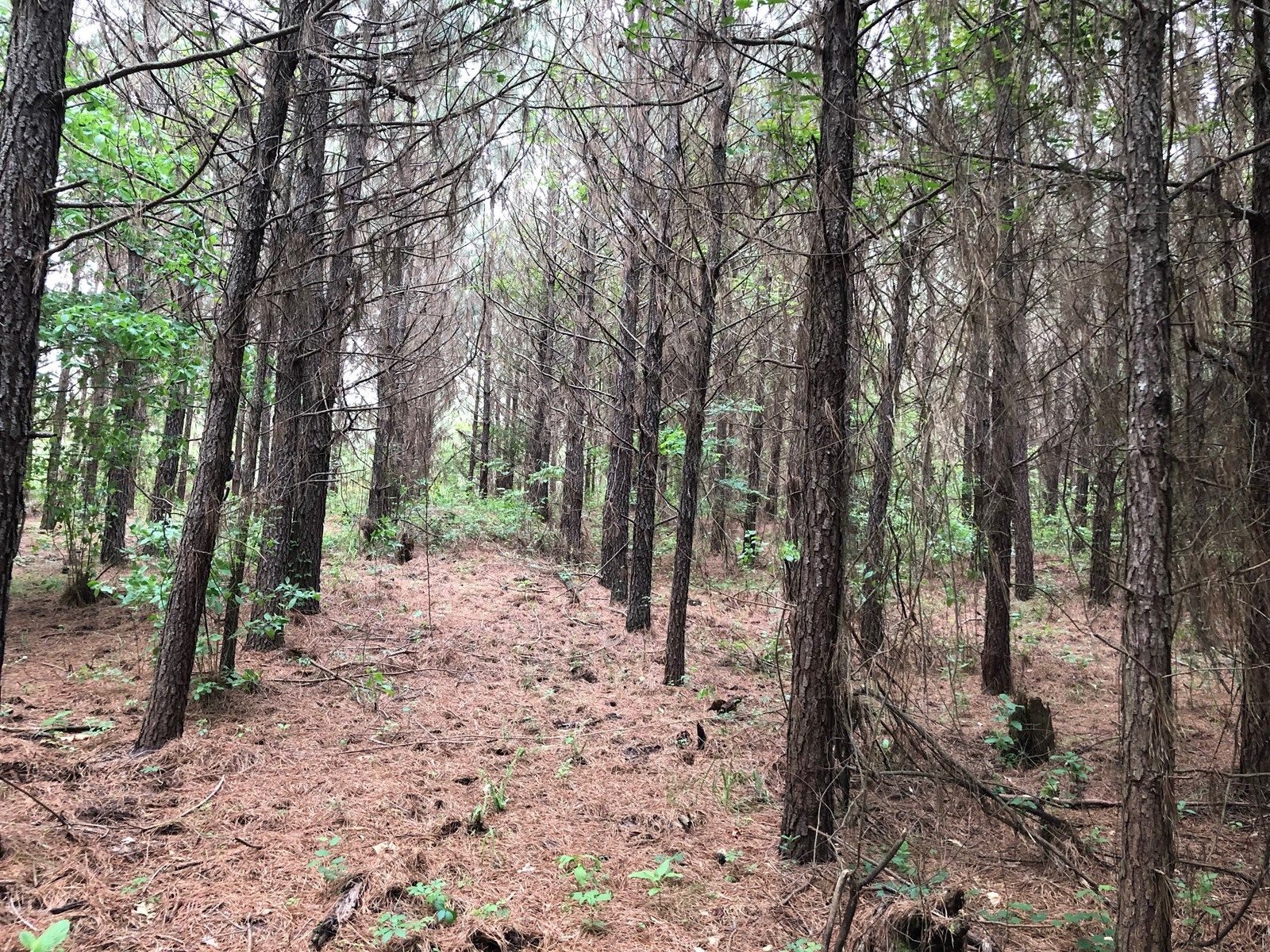 Planted Pine for Sale /W Hardwood Creek Land near Emmet, AR