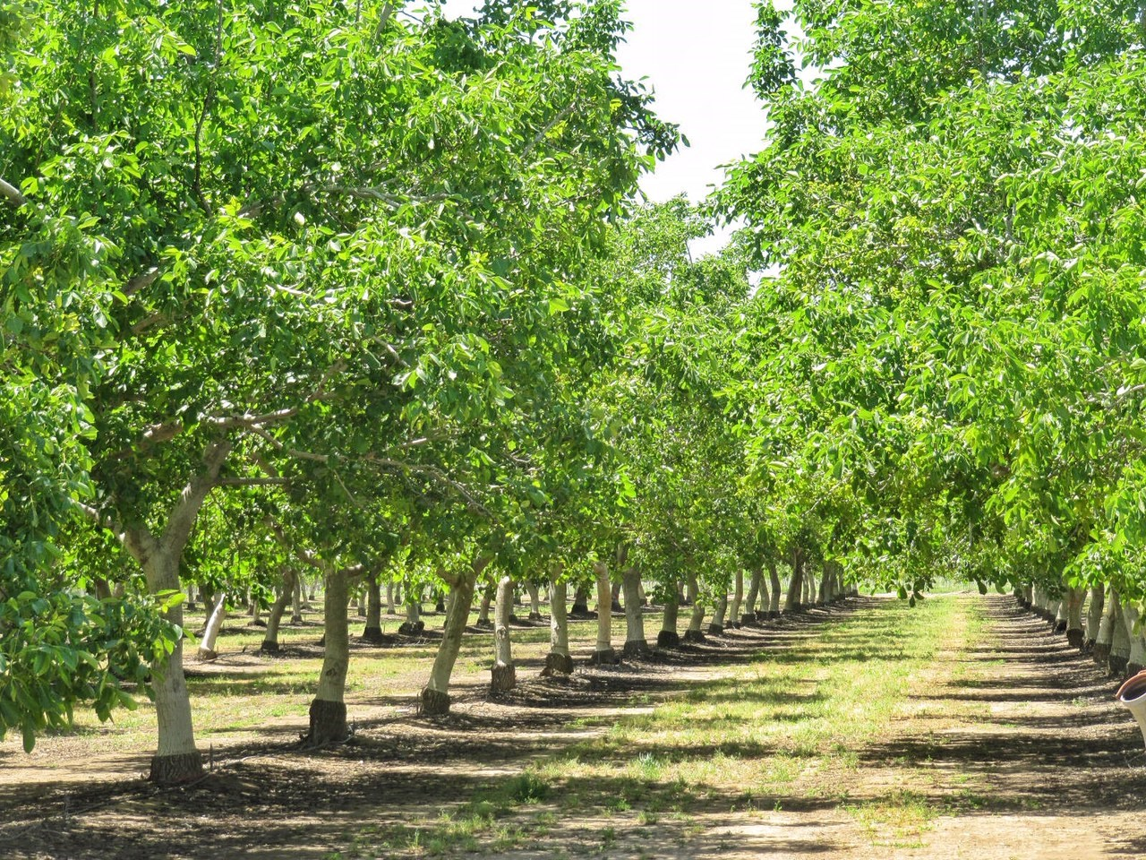 Northern CA Income Producing Walnut Orchards for Sale