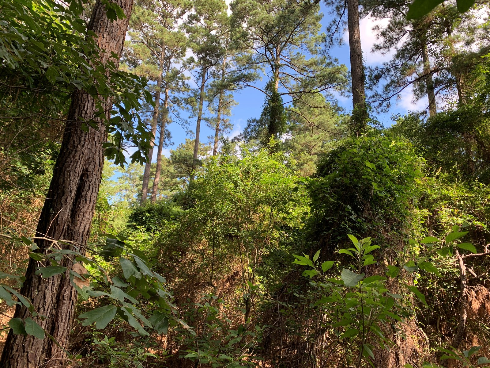 Merchantable Pine Timberland for sale in Union County, AR