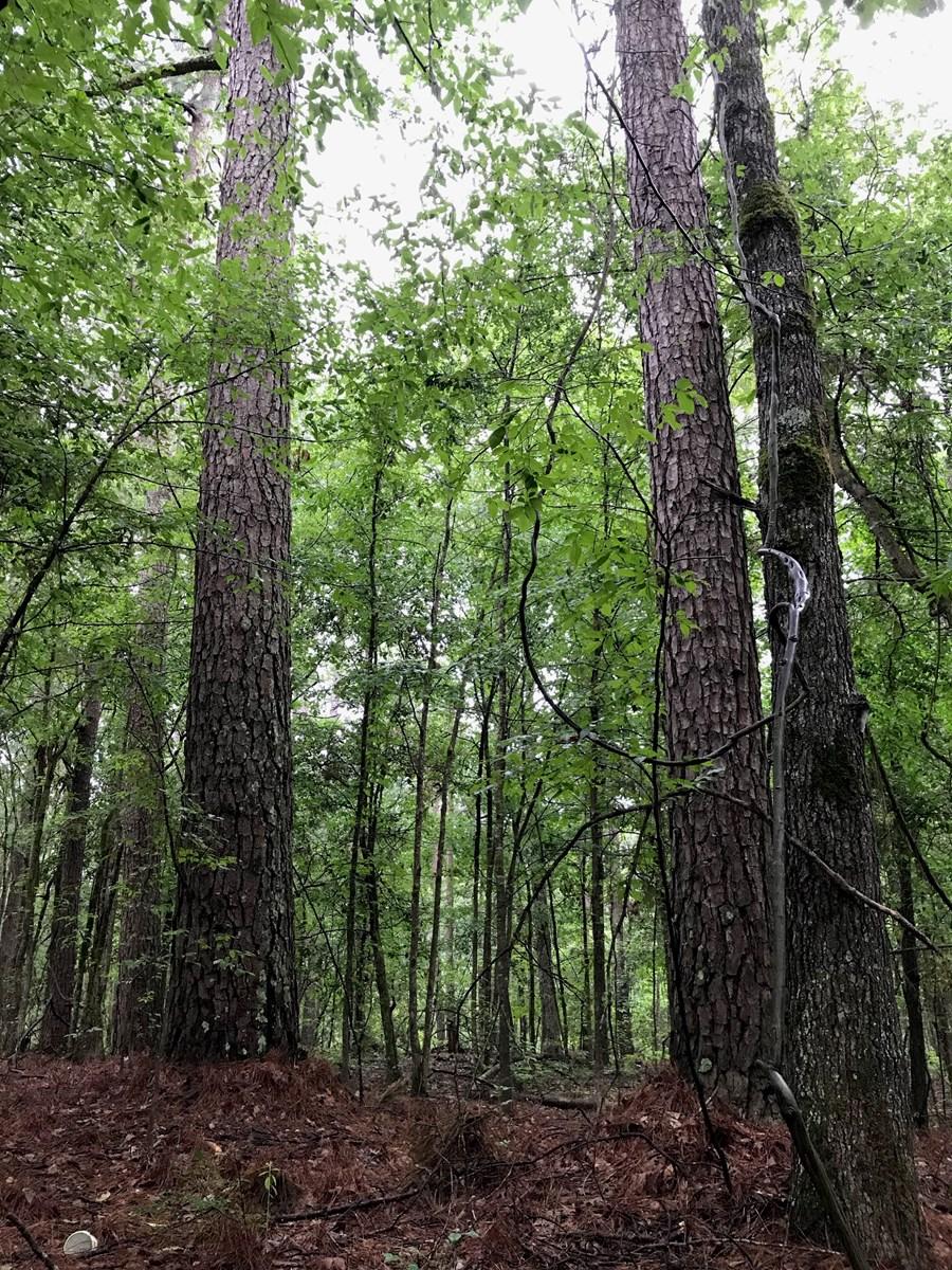 Recreational Pine Timber land for Sale west of El Dorado, AR