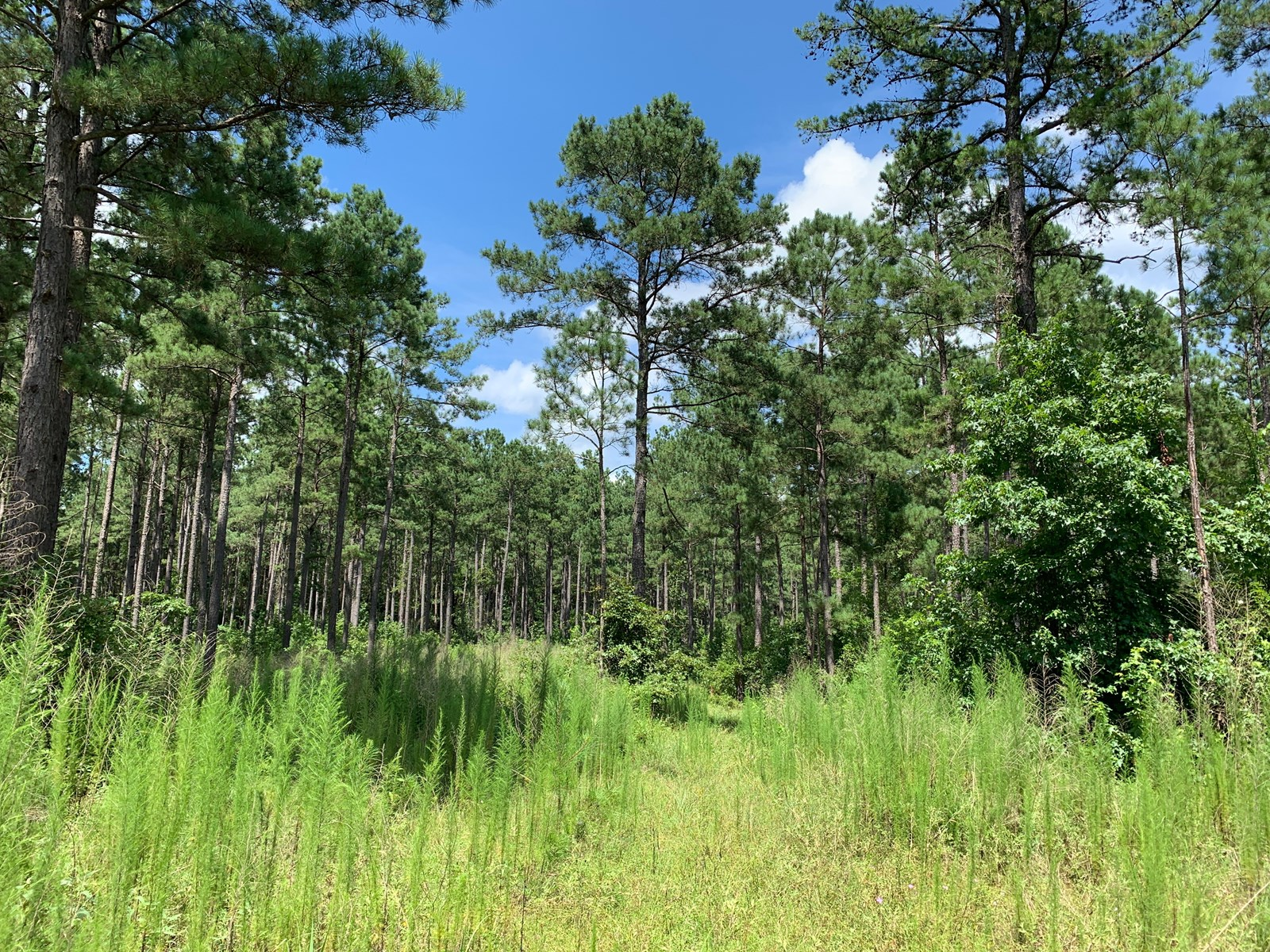 Pine Timberland for Sale with Small Pond near Stephens, AR
