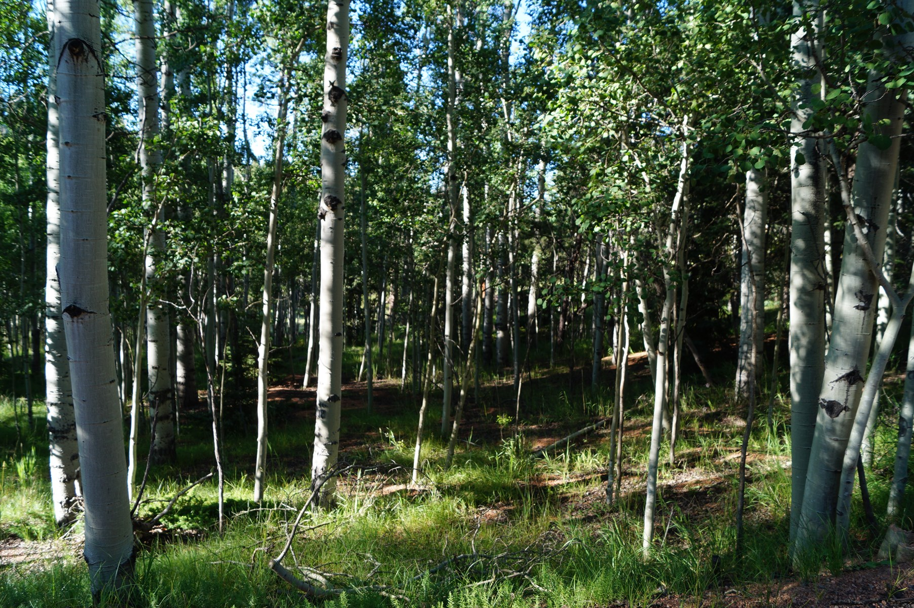 Level Build Site with Trees near Mueller State Park